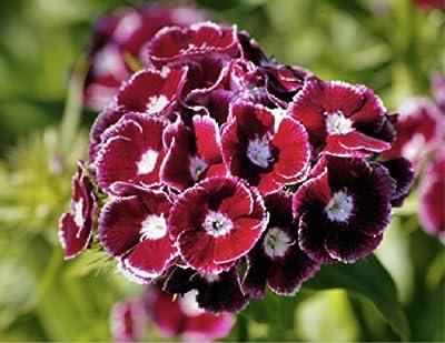 Sweet William 'Black Magic' (Dianthus Barbatus L.) Flower Plant Seeds, Perennial Red Heirloom
