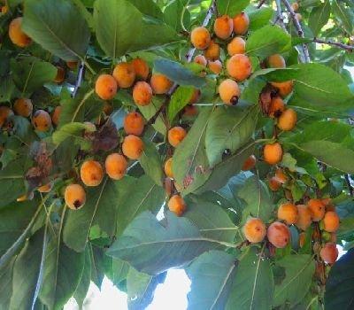50-date-plum-persimmon-tree-seeds-diospyros-lotus-usa