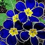 100 Pcs Blue Evening Primrose Flowers Colorful Mixed Seeds Bonsai Plant Garden Balcony Ornamental Home Primula Malacoides Flower Light Purple