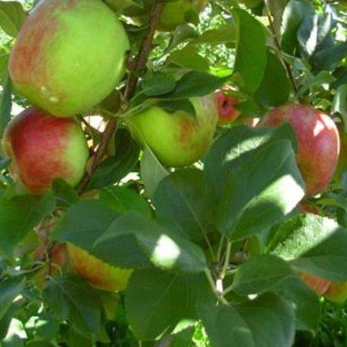 3-HONEY-CRISP-APPLE-TREE-UNROOTED-CUTTING-FLOWERING-FRUIT-TREES-PLANTS-TREES