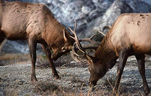 Home Comforts Canvas Print Sparring Fighting Nature Bull Elk Wildlife Vivid Imagery Stretched Canvas 32 x 24