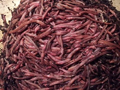 200 Red Wigglers - Red Worms For Compost