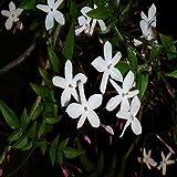 Jasmine Night Scented Flowering Tobacco (Nicotiana Alata) (100)