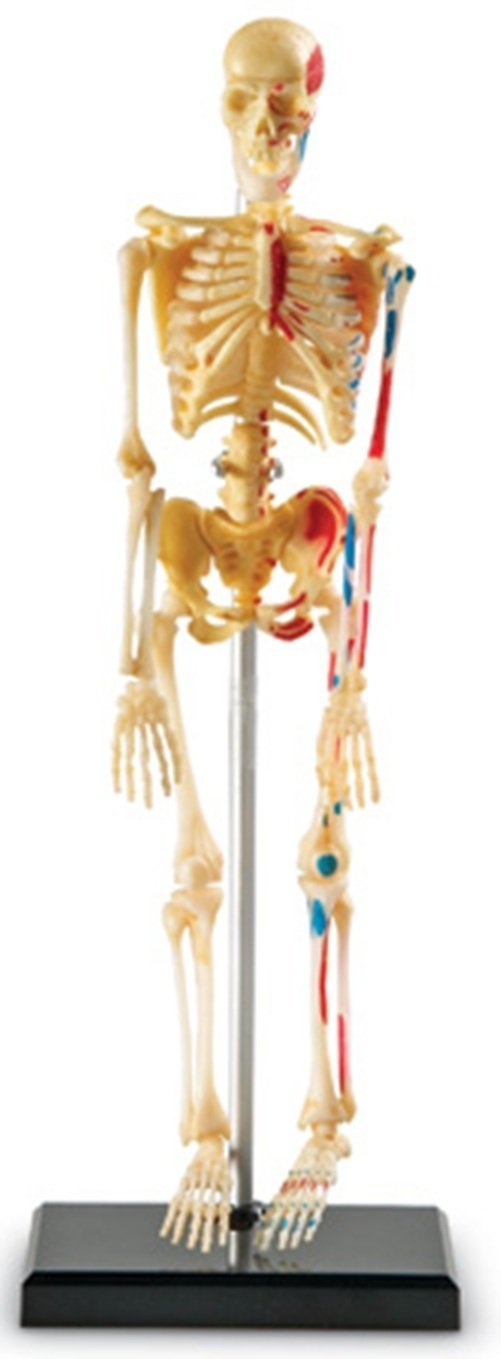 skeleton model for kids 5th 6th grade classroom teacher
