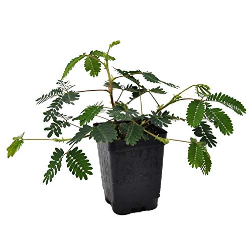 (Mimosa pudica, Fairy Sensitive Plant)