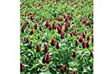 David's Garden Seeds Cover Crop Clover Crimson SV982 (Red) One Ounce Package