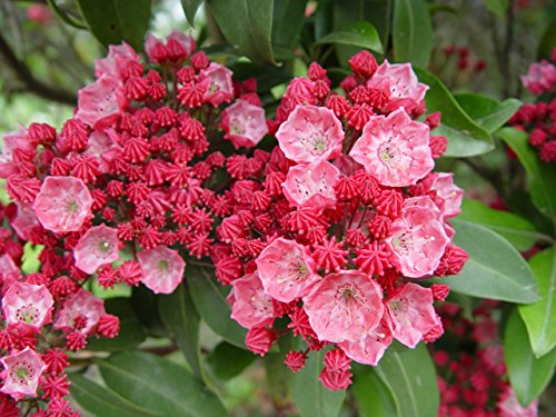 Kalmia lat. 'Sarah' (Mountain Laurel) Evergreen, pinkish-red flowers, #3 - Size Container by Green Promise Farms (Image #1)