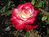 Double Delight - Bareroot Hybrid Tea Garden Rose Bush - Highly Fragrant Cream Blooms with Deep Pink/Red Edges