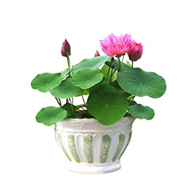 Gracefulvara 40pcs Lotus Flower Seeds Aquatic Plants Bowl Lily Seeds : Garden & Outdoor