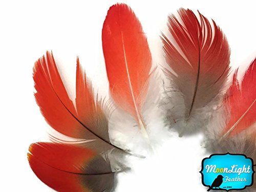 6 Pieces - RED African Grey Parrot Body Plumage Feathers - Rare-