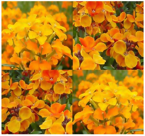 - 1,300 x SIBERIAN WALLFLOWER Seed - Cheiranthus allionii - Clusters of fiery ORANGE Flower - Zones: 3-9 - By MySeeds.Co