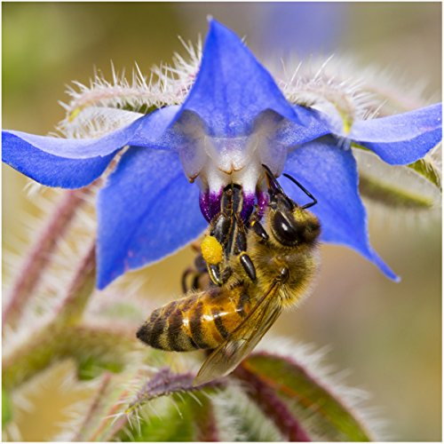 (Package of 100 Seeds, Borage Herb (Borago officinalis) Non-GMO Seeds by Seed Needs)
