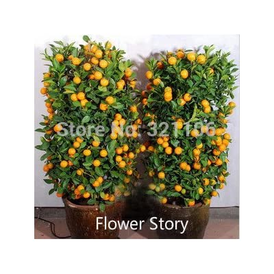 20 Mini Potted Edible drawf Orange Bonsai Seeds-- Fruit, Tangerine Citrus Easy -growing : Garden & Outdoor