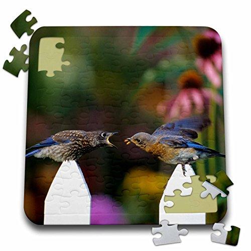 danita-delimont-bluebird-eastern-bluebird-female-feeding-fledgling-on-picket-fence-near-flowers-10x1
