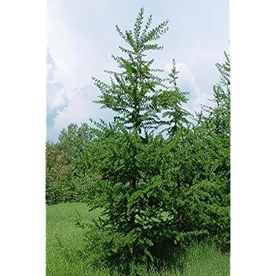 50 American Larch Tree Seeds, Larix Laricina : Garden & Outdoor