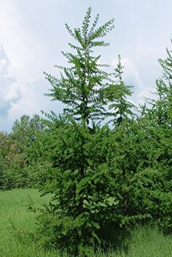 50 American Larch Tree Seeds, Larix Laricina Sellify