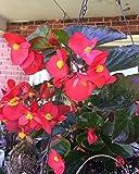 Red Broad Leaf Angel Wing Begonia Seeds HANGING BASKET PLANT
