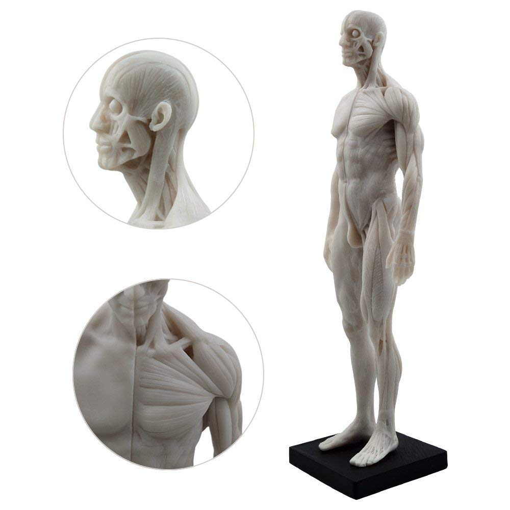 Amazon Medfrom 11 Inch Male Anatomy Figure Anatomical Reference