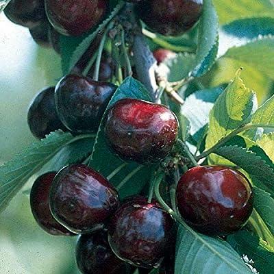 Sweet Cherry Tree 1 Fruits Plant Garden 8-12