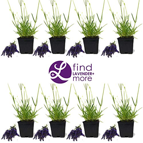 "Findlavender - Lavender MUNSTEAD (Dark Purple Flowers) - 4"" Size Pot - Zones 5-9 - Bee Friendly - Attract Butterfly - Evergreen Plant - 8 Live Plant"