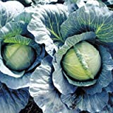 Cabbage Early Thunder F1 Seeds - Vegetable Seeds Package - 50,000 Seed Package
