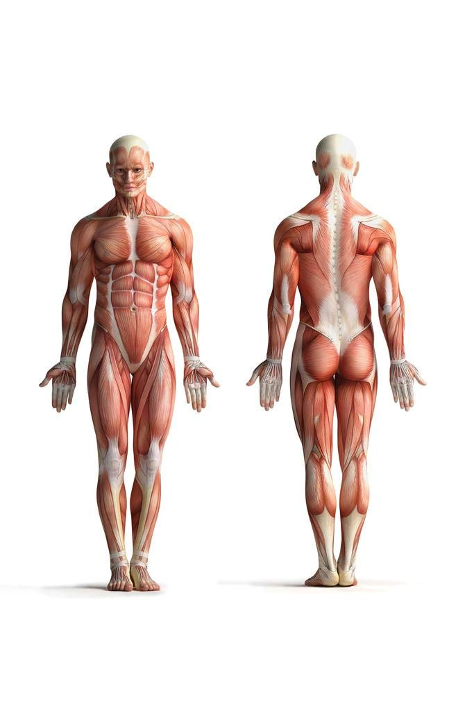 Amazon Poster Foundry Male Human Anatomy Muscles Diagram Chart