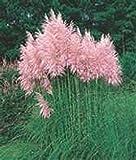 Pampas Grass- Pink- 100 Seeds