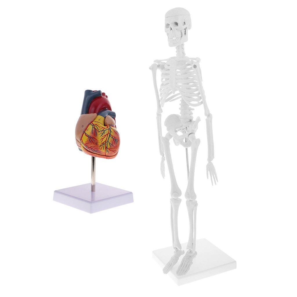 sharplace 45 cm Modell Hintergru menschlichen Körper Figur ...