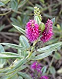 1 Packet of 50 Seeds Hebe Wiri Vision - Plantaginaceae - Shrubby Veronica