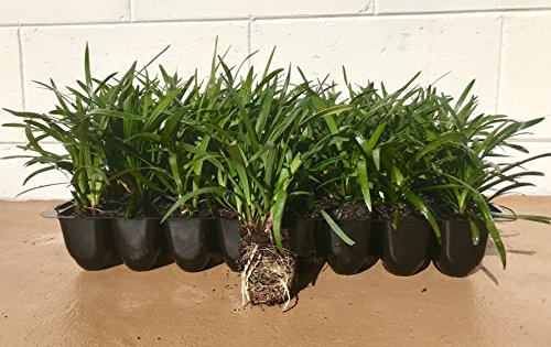 Super Blue Liriope Qty 20 Live Plants Groundcover by Florida Foliage (Image #5)