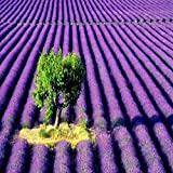 LAVENDER FRAGRANCE OIL - 8 OZ - FOR CANDLE & SOAP MAKING BY VIRGINIA CANDLE SUPPLY WITH WITHIN USA