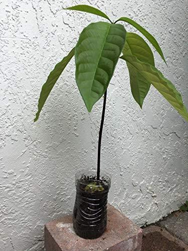 Firm Avocado Palta Graines Plantes 1 De Plat Germination Bio Tree FgZqfBBd