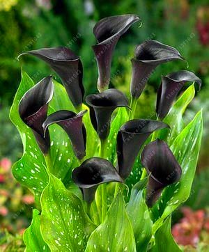 True Good quality calla lily bulbs, (not calla lily seed),balcony bonsai flower bulbs, Pure and noble plant pot - 2 pcs 8 by SVI