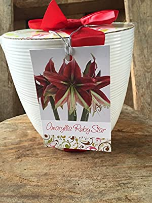 Ruby Star White Ceramic: Amaryllis Holiday Gift Growing Kit, Deluxe Edition. Includes a Quaint Ruffled Stunning Red Ceramic Pot, a Big Red Lion Bulb in a Burlap Bag with Red Bow, and Growing Medium