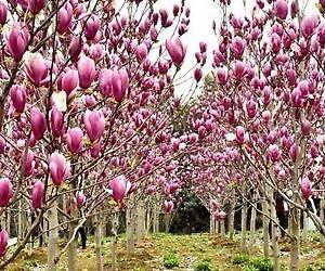 Srushti Traders Magnolia Grandiflora Fragrant Perennial Flower Tree