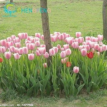 Amazon.com : Shopmeeko 2016 New See 30 Pcs/lot Rare Tulip See Flower ...