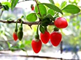 100 HIMALAYAN TIBETAN GOJI BERRY WOLFBERRY FRUIT Bush Lycium Barbabarum Seeds by Seedville