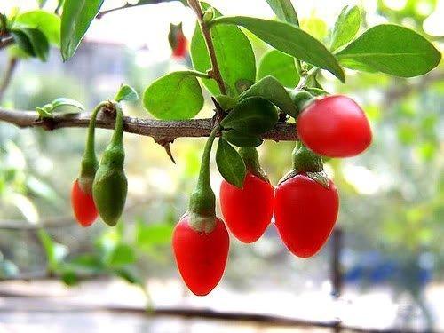100 HIMALAYAN TIBETAN GOJI BERRY WOLFBERRY FRUIT Bush Lycium Barbabarum Seeds by Seedville