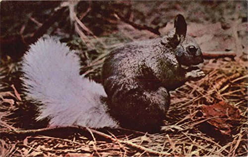 Kaibab White Tail Squirrel, Kaibab National Forest Other Animals Original Vintage Postcard from CardCow Vintage Postcards