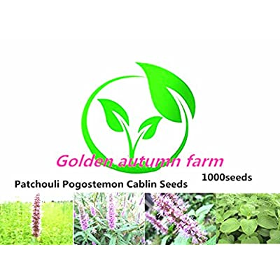Golden autumn farm-1000 Patchouli Pogostemon Cablin Seeds : Garden & Outdoor