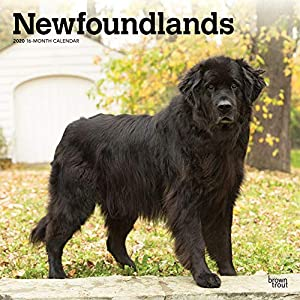 Newfoundlands 2020 12 x 12 Inch Monthly Square Wall Calendar, Animals Dog Breeds (English, French and Spanish Edition) 41