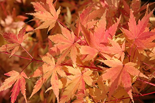 Coral Bark Japanese Maple Acer palmatum 'Sango Kaku' 3 - Year Live Plant Brilliant Red Bark is Bright Red, Year Round Beauty With a Spectacular Range of Leaf Colors by Japanese Maples and Evergreens (Image #7)