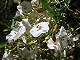 10 Seeds Convolvulus floridus Canary Morning Glory Plant