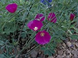 10 Seeds Wine Cup Flower Seeds-drought Tolerant, Sprawling Perennial, Magnificent Flowers