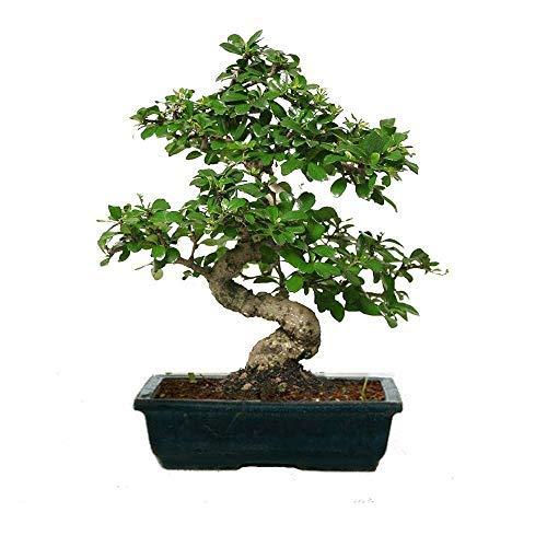Abana Homes® Carmona Bonsai Live Plant – Indoor Bonsai Plant – Best Gift or Home Decor