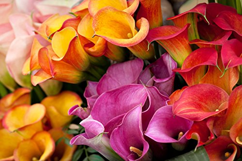 Calla Lily Rainbow Hybrid Mix - Zantedeschia Tubers - 6 Bulbs - Red, Pink, White, Yellow and Orange   Ships from Easy to Grow ()