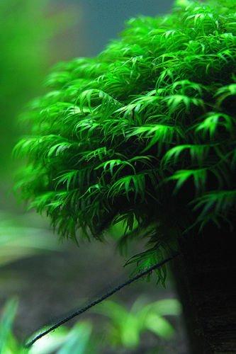 Fissidens Fontanus 3''x3'' - Live Aquarium Moss Water Plants Tropical Fish Tank