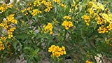 Tagetes Lemmonii (Lemmon's Marigold) Dwarf Yellow 300 Seeds