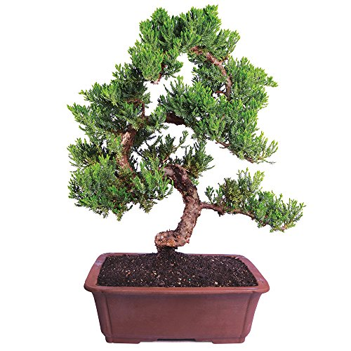 Brussel's Live Green Mound Juniper Outdoor Bonsai Tree - 6 Years Old; 14