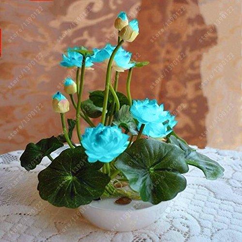 - Seeds Shopp - Flower seeds bowl lotus flower hydroponic Aquatic plants lotus seeds perennial water lily plant for mini garden 5 pcs/bag Brand New !